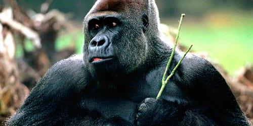 к чему снится горилла