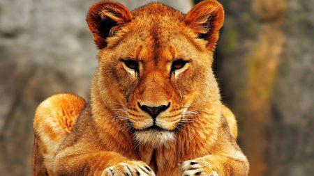 К чему снится львица девушке фото