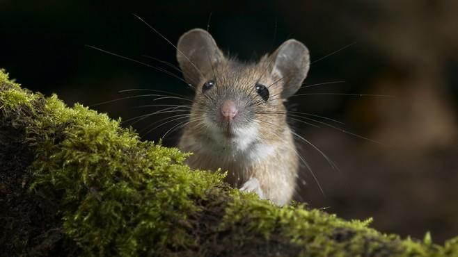 к чему снится мышка