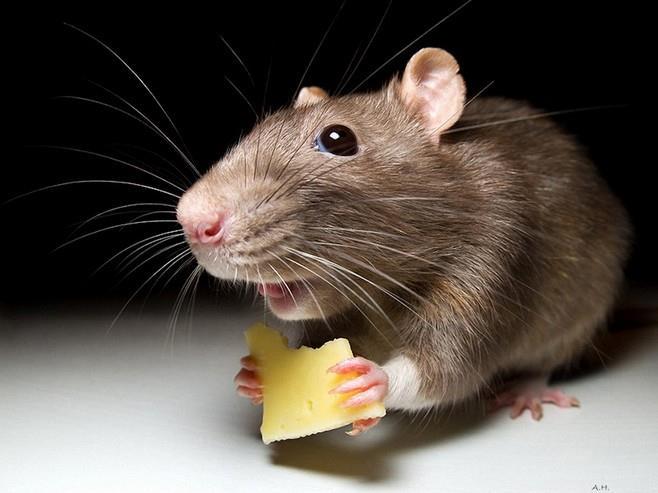 сонник мышь