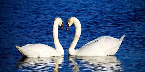 белые лебеди на воде во сне