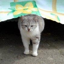 Приснилась беременная кошка