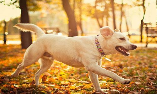Сонник собака большая добрая ластится фото