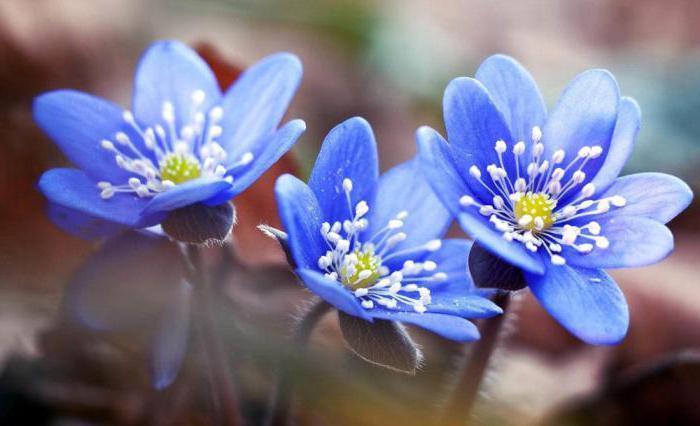 сонник ярко синий цвет