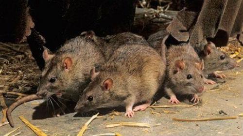 крысы во сне много