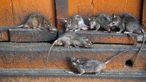 к чему снятся крысы много в доме