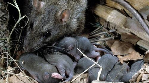 к чему снятся много крыс женщине