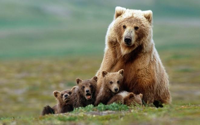 сонник медведица