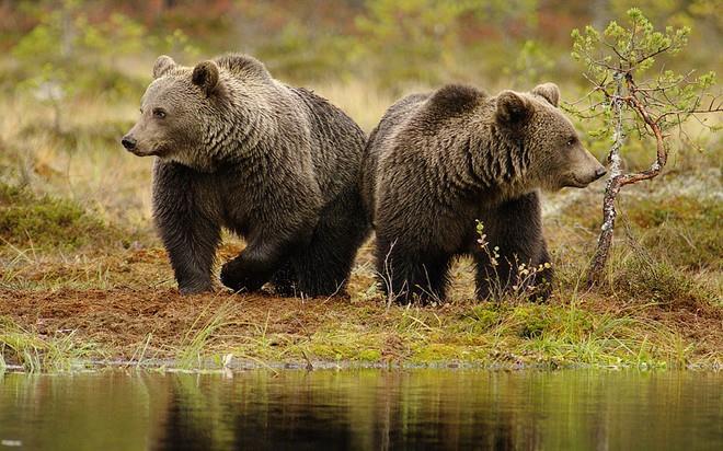 сонник два медведя