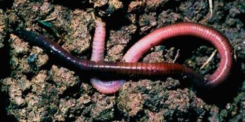 к чему снятся дождевые черви