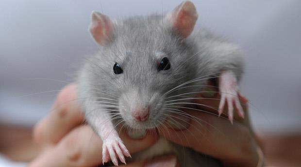 К чему снятся крысы и мыши