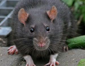 К чему сниться душить крысу фото