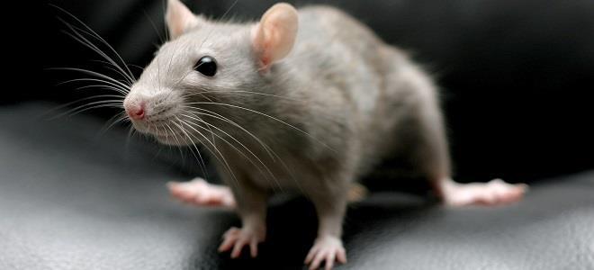 К чему снится убить крысу
