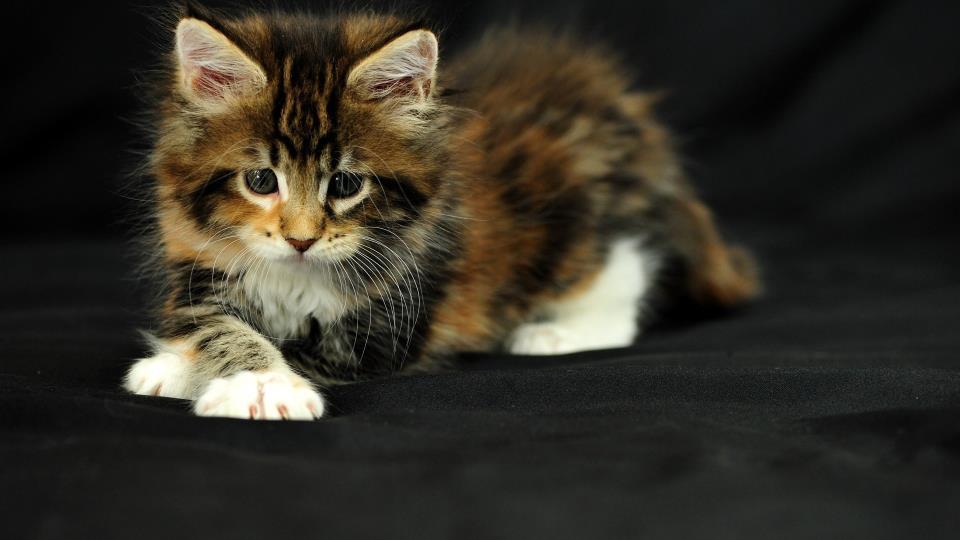 Трехцветный кот