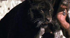 К чему снится черный тигр фото
