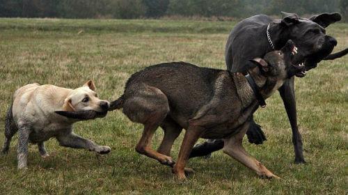 Сонник собаки дерутся фото