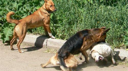 Фото Сонник собаки дерутся
