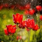Цветы под дождем