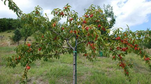 Персики толкование сонника