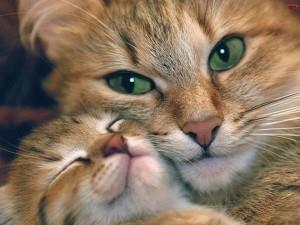 84601 300x225 К чему снятся кошки, коты и котята
