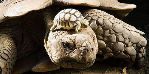 большая черепаха с детенышем