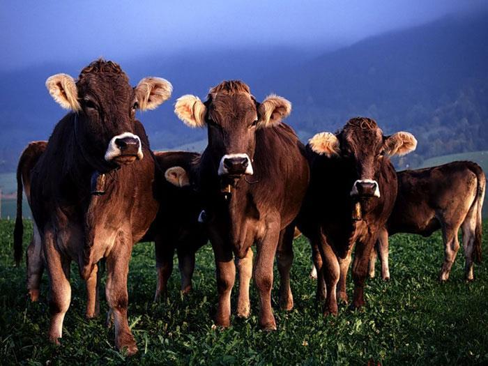 Сонник: к чему снится корова и стадо коров