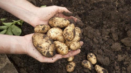 выкапывать картофель