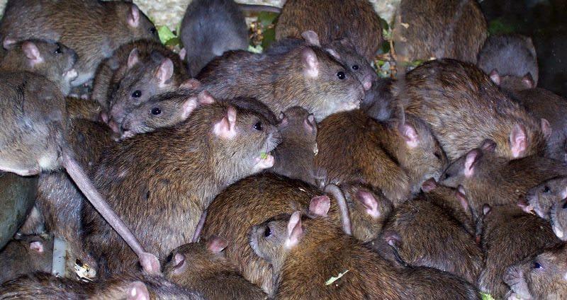 К чему снятся много крысят фото