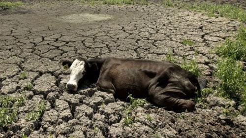 мертвая корова во сне