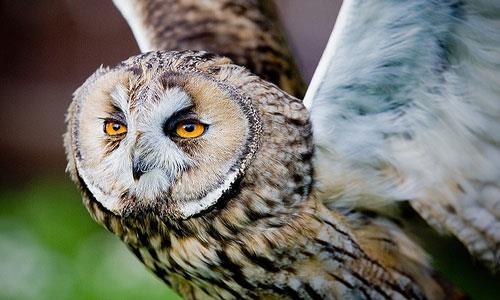 К чему снится поймать сову фото