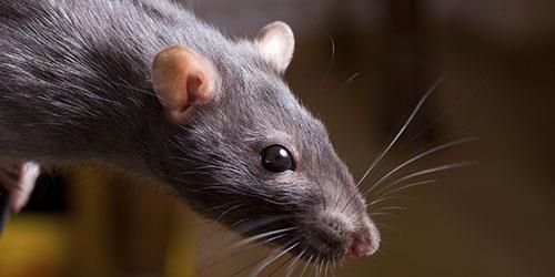 укусила крыса до крови во сне