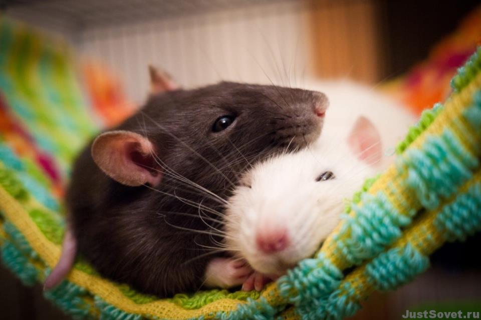 К чему снятся крысы беременной женщине