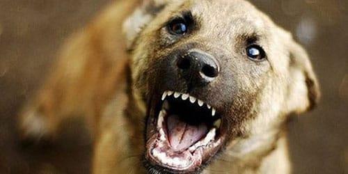 Сонник укусила бешеная собака фото