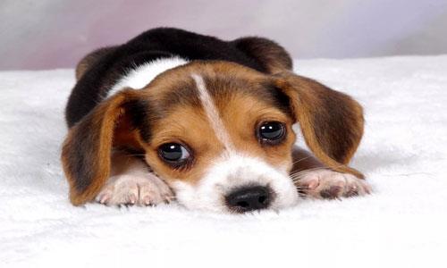 К чему снится серый щенок фото