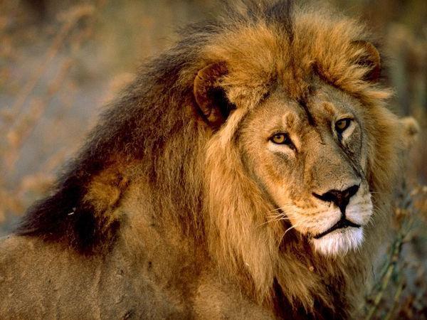 Сонник львы