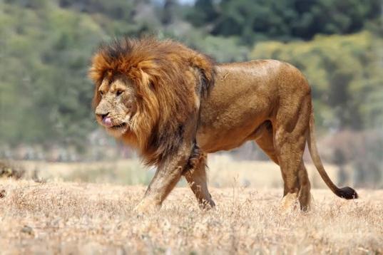 Сонник лев нападает