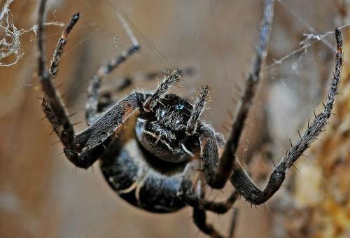 Мне приснился большой паук мохнатый коричневого цвета он сидел на паутине.