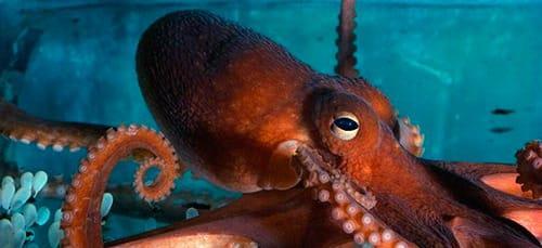 сонник осьминог