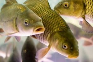 К чему снится рыба мужчине?