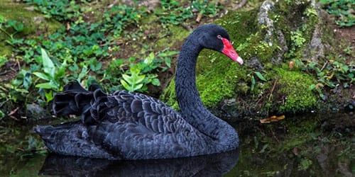 видеть во сне черного лебедя