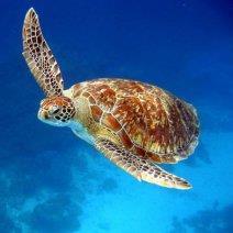 К чему снится черепаха: толкование образа
