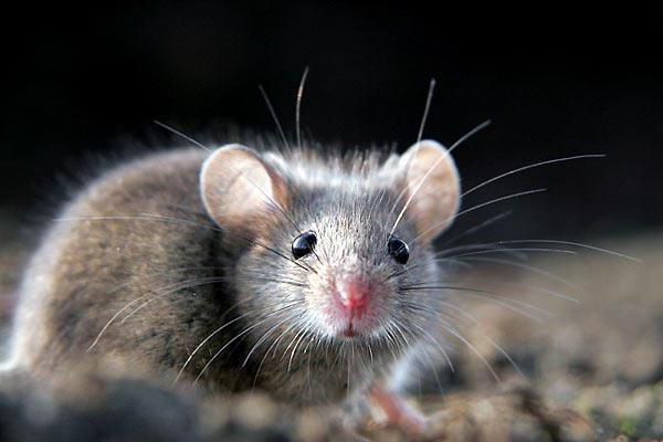 сонник мышь серая маленькая