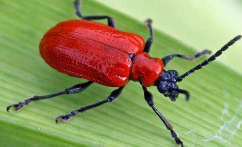 красные жуки