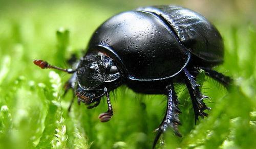Черные жуки