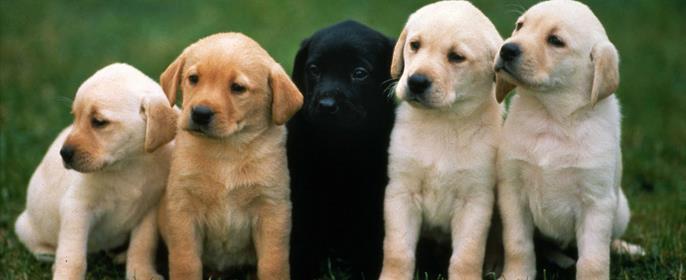 Сонник бойцовская собака фото