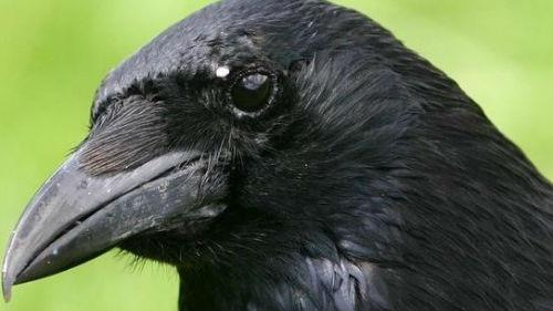 Я сказала мужу о воронах, он спешил на встречу с моим отцом которого сейчас нет в живых и они никогда не виделись , муж посоветовал мне их выгнать или убить.