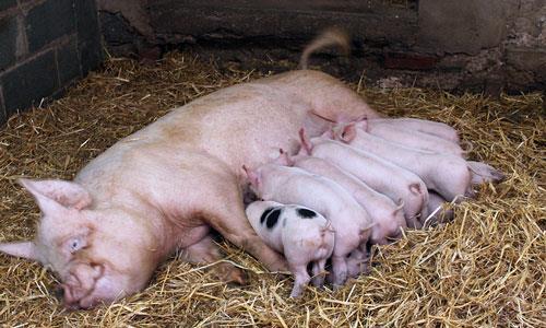 К чему снятся крысы и свиньи фото