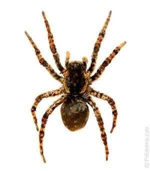 Фото К чему снится черно красный паук