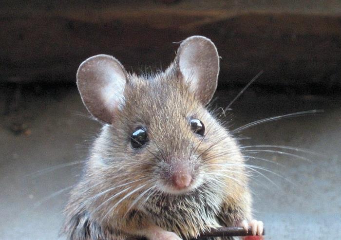 К чему снятся дохлые, живые мыши. Сонник: ловить и убить мышь во сне