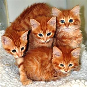Рыжие кошки